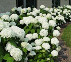 garden-show-annabelle-hydrangea