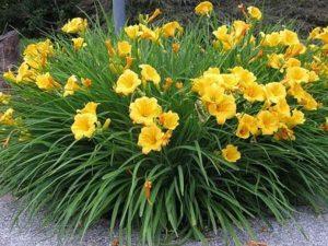 garden-plant-of-week-7-2